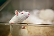 Rat study: Brain injury can cause PTSD without psychological stressors - Photo: ©iStock/fotografixx