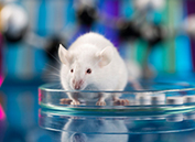 It's not a rat's race for human stem cells grafted to repair spinal cord injuries