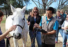 Dr. Huisheng Xie, director of the Chi Institute of Traditional Chinese Veterinary Medicine in Florida, trains students in administering electroacupuncture to a horse. He collaborated with VA's Dr. Fletcher White and others on a study of the therapy's mechanisms.