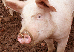 In Iowa City VA study, proximity to swine linked to higher MRSA rates